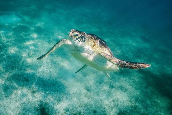 Akumal Beach Turtle